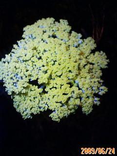 ハーブの花満開
