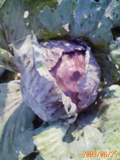 紫キャベツの収穫♪