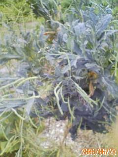 黒キャベツの種採り