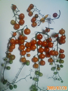 マイクロトマトの整枝