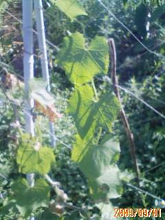 こぼれ種ヘチマの成長