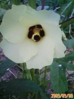 オクラの花の比較
