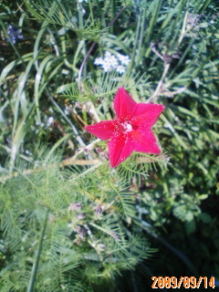 るこう草の赤花