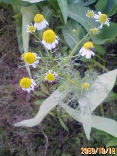 カモミール開花