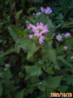 生育の早いミゾソバの花
