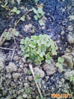青梗菜の発芽