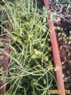 赤玉葱の苗の植え付け