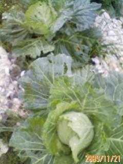 キャベツ収穫間近
