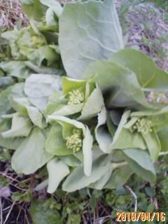白菜の菜の花とアスパラガス
