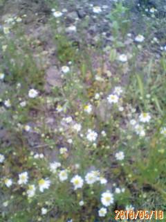 ハーブの花の開花