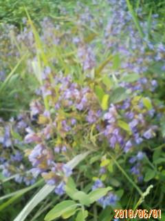 ハーブの花たち