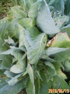 キャベツの複数回収穫