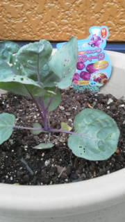紫色の芽キャベツ