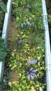 サフラン開花と冬支度