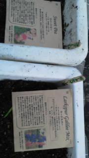 「玉葱の定植と麦の種まき」の画像