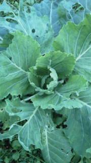 ド根性野菜